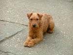 Honey - Lakeland terrier