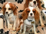 The Blenheims - Cavarlier King Charles Spaniel