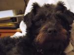 Josh - Patterdale terrier