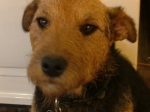 Muffin - Patterdale X Lakeland terrier