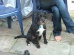 Jasper - Patterdale terrier