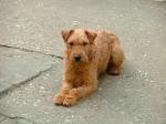 Honey - Lakeland terrier