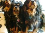 The Black and Tans- Cavarlier King Charles Spaniel
