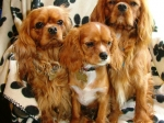 The Rubies - Cavarlier King Charles Spaniel