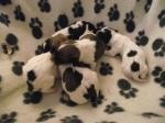 Hatties' Pups